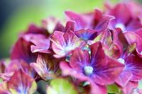 赤い個性的な花を咲かせる紫陽花の花のクロー