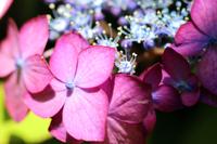 ピンク色の額紫陽花のクローズアップ部分写真