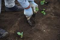 ブロッコリー植え付け・秋の農作業風景