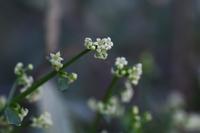 アカネの花