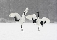Red-crowned crane or japanese crane, Grus japonensis