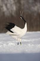Red-crowned crane or japanese crane, Grus japonensis
