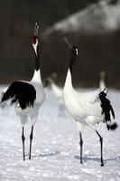 Red-crowned crane,  Japanese crane, Grus japonensis,
