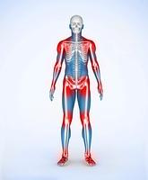 Red joints of a blue digital skeleton