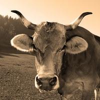 Altmodische Kuh (3)