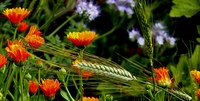 Gerstenfeld mit Ringelblumen
