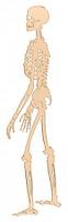 Skelett - seitlich