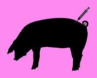 Schwein bekommt Impfung wegen Schweinegrippe