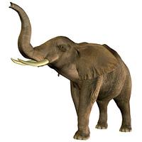 Elefant trompetet