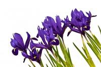 Iris, Schwertlilien