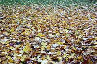 Herbstlaub in Ol