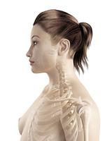 bones of the neck and shoulder