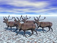 Rentier Herde im Schnee