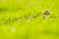 Small mushroom grow in grassland