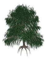 Babylon or weeping willow, salix babylonica tree - 3D render