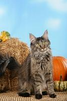 Maine Coon Katze sitzt vor Kuerbissen
