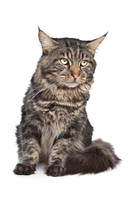 maine coon, black tabby cat