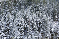 Snow Covered Evergreen Fir Trees during WInter