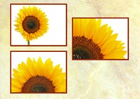 Sonnenblumenpostkarte