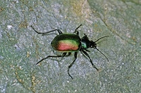 Calosoma spec, Puppenrauber