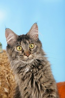 Maine Coon Katze Portrat