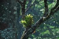 Bromelie in Urwaldbaum