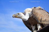 A griffon vulture in front of a shiny blue sky.