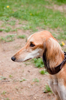 A portrait of young saluki