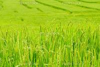 Green rice field in Thailand