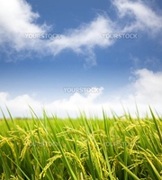 paddy rice field with cloud background