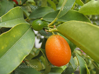 a branch of tangerines (kumquat)