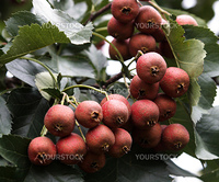 Plant, fruit, Chinese hawthorn,