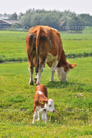 brown white cow with little calf