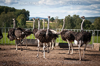 Some ostriches on a farm