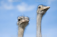 Two ostriches watching out