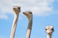 Ostriches on a farm in Borl・スnge, Sweden