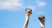 Wide angle of ostriches