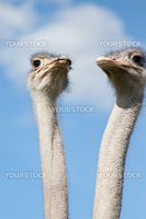 Two ostriches on a farm in Borl・スnge, Sweden