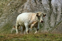 White cow walking in the grass next to a big grey rock in the mountain, France