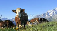 Cow, farm animal in the french alps, Tarine race cow, savy, beaufort sur Doron