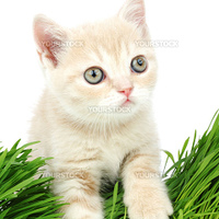 cat behind grass isolated on white background