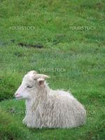Norwegian feral sheep lying on grass.