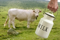 Milk pot urn on farmer hand with cow in meadow background