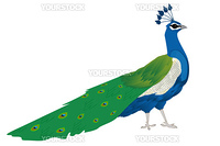 Beautiful peacock, isolated and grouped objects