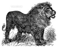 African Lion vintage engraved illustration. Trousset encyclopedia (1886 - 1891).