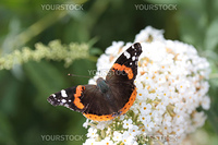 Atalanta or red admiral on white summer lilac