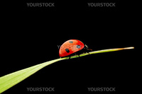 ladybug on grass isolated black background