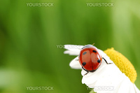 ladybug on camomile green grass background