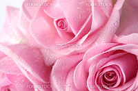 pink rose macro close up
