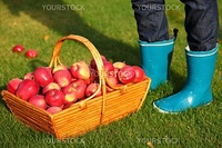 Autumn concept. Apple picking - Red apples in basket and blue rain boots